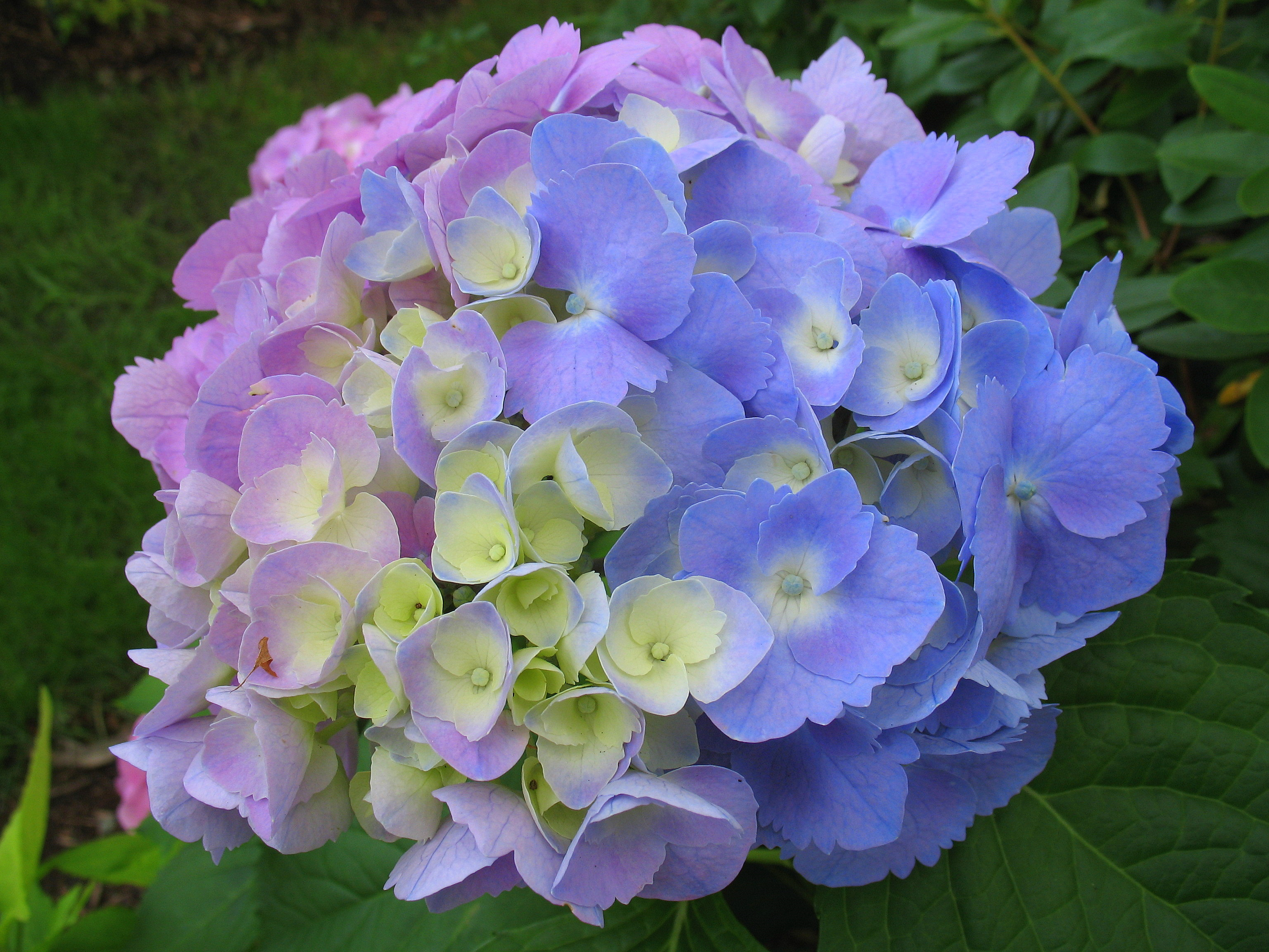 Name:  ColorfulHydrangea.jpg Views: 169 Size:  1.27 MB